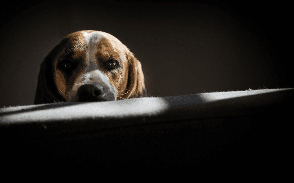 Razones por las que NO debes cortarle las orejas a los perros / Foto: Cortesía