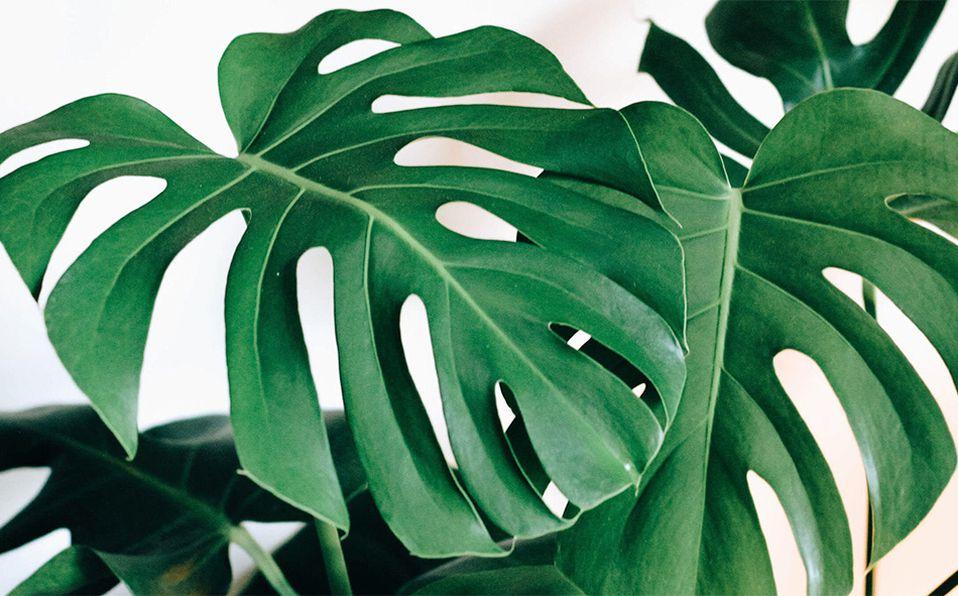 Esta peculiar planta  también es llamada costilla de Adán. Foto: Archivo