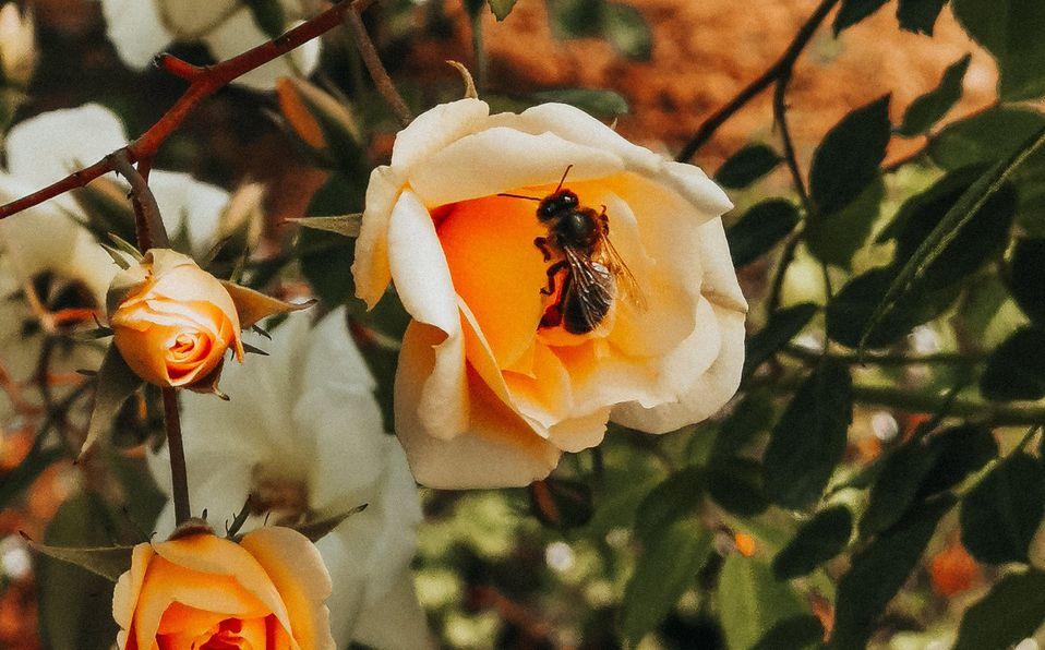 ¿Qué pasaría si si las abejas desaparecieran? (Foto: Unsplash)