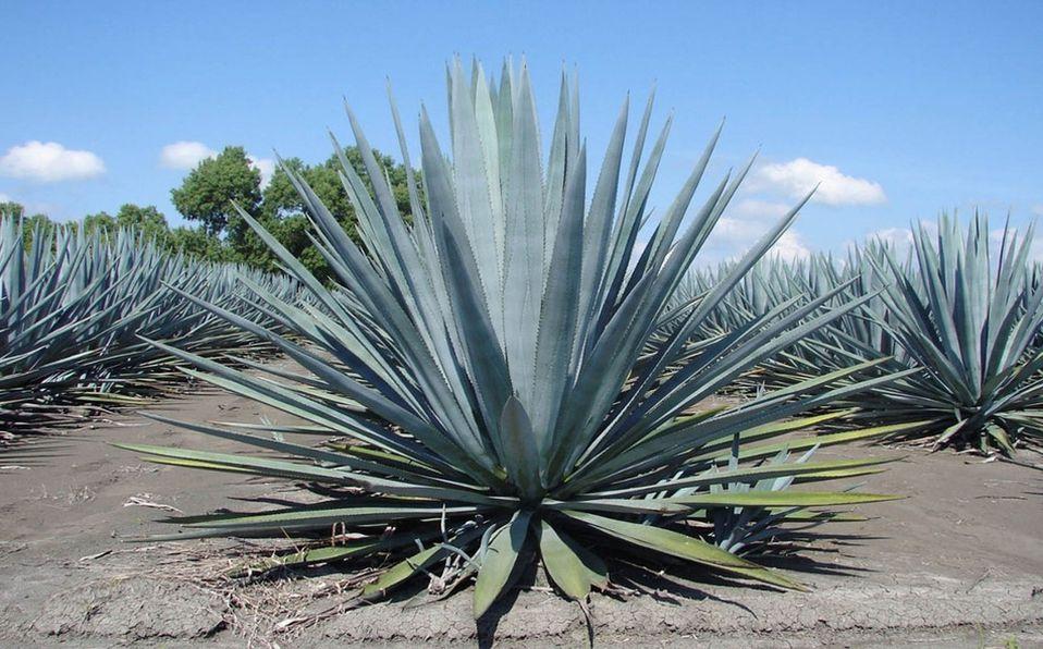 La inulina de agave es una fibra soluble muy benéfica para la salud digestiva (Foto: Cortesía)