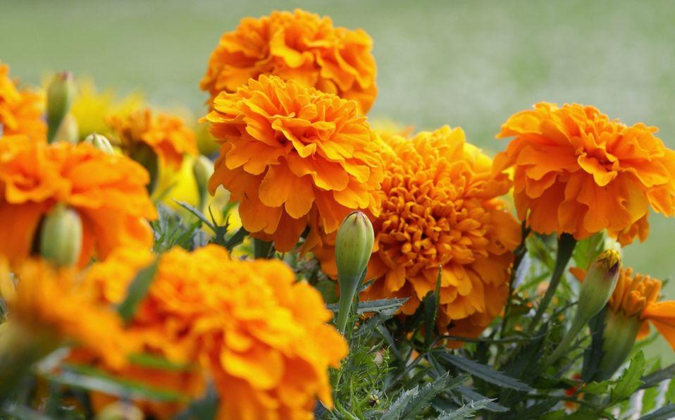Té de flor de cempasúchil: Beneficios y receta (Foto: Getty Images)
